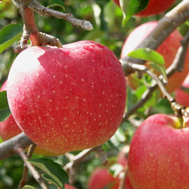 リンゴ 【世界一1年生 接木苗 】