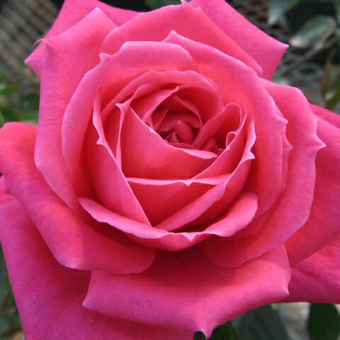 おおすみ・花 薔薇 会
