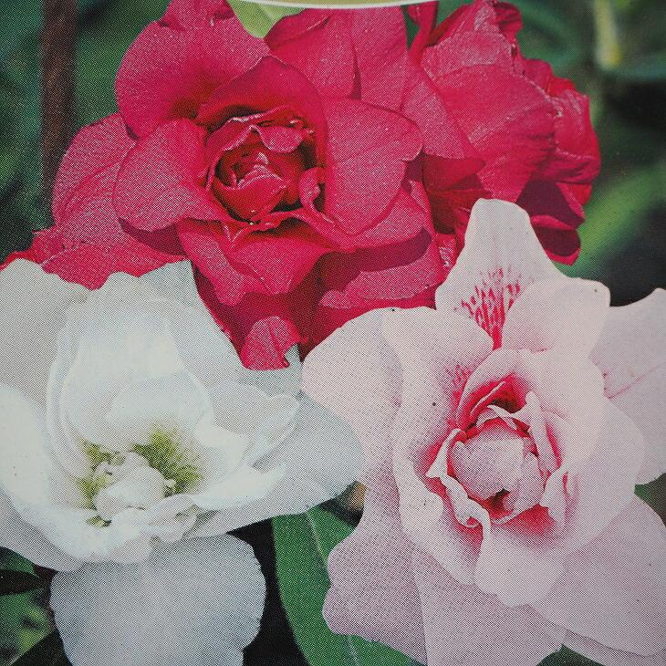 平戸ツツジ 三色咲き分け 八重