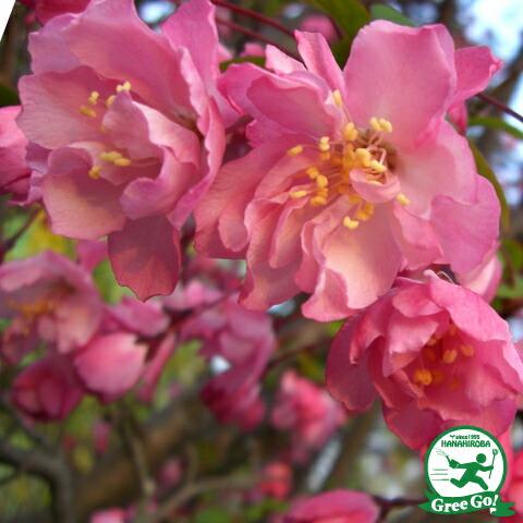八重咲カイドウ