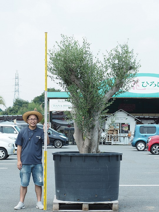 原木オリーブの木