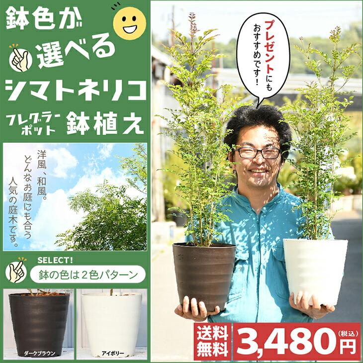 シマトネリコ鉢植え