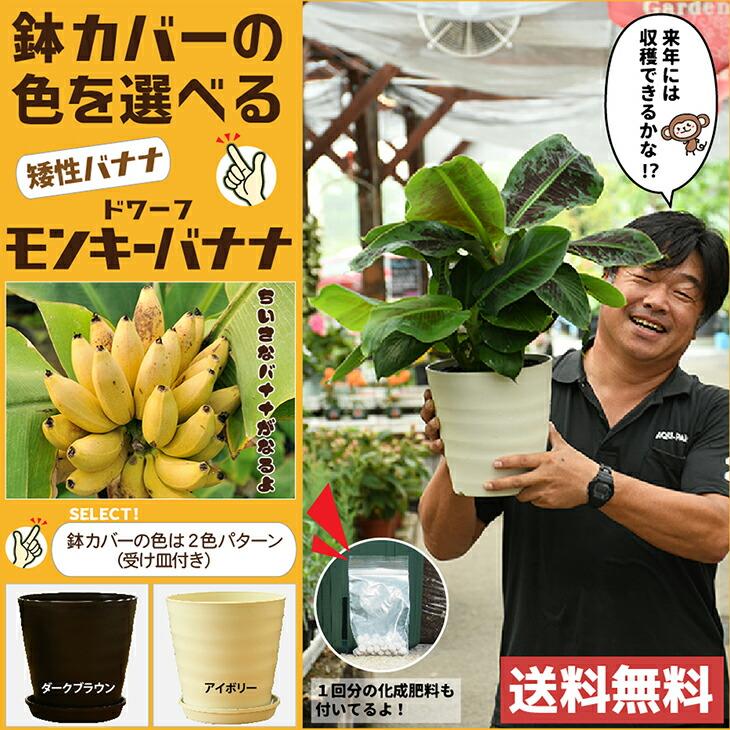 モンキーバナナ 鉢カバー付