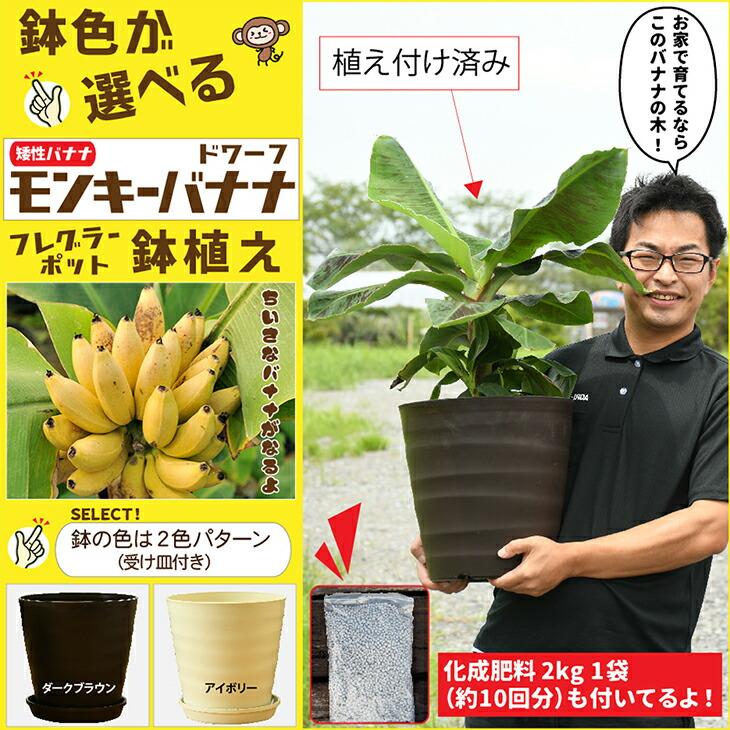 モンキーバナナ 鉢植え