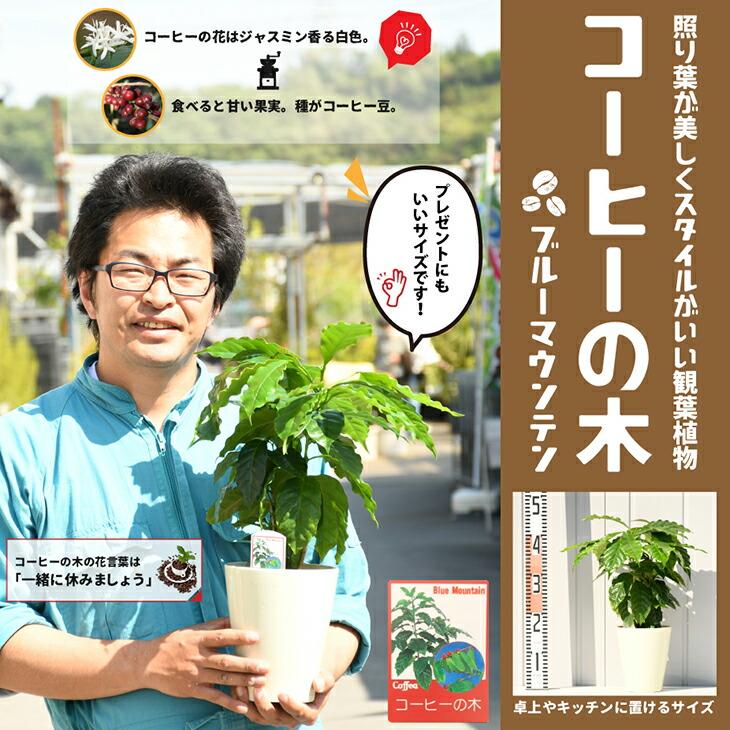 コーヒーの木(小)