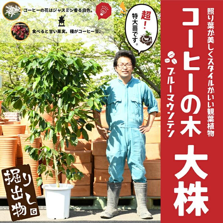 コーヒーの木(大)