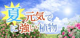 夏に元気で強い植物・花苗