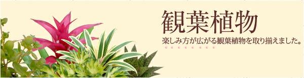 観葉植物カテゴリページ