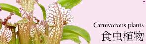 観葉植物 食虫植物