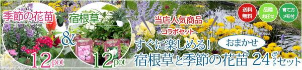 宿根草と季節の花苗おまかせ24ポットセット