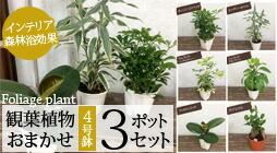定番 観葉植物 おまかせ 3ポットセット