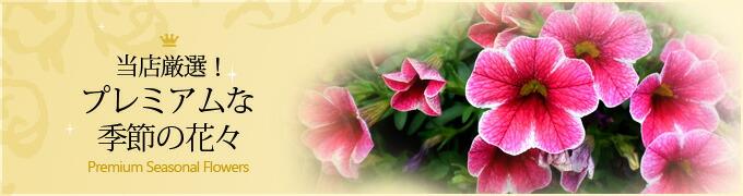 プレミアム季節の花苗