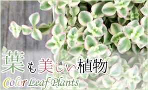 葉も美しい植物