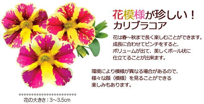 カリブラコア花苗 珍しい花色