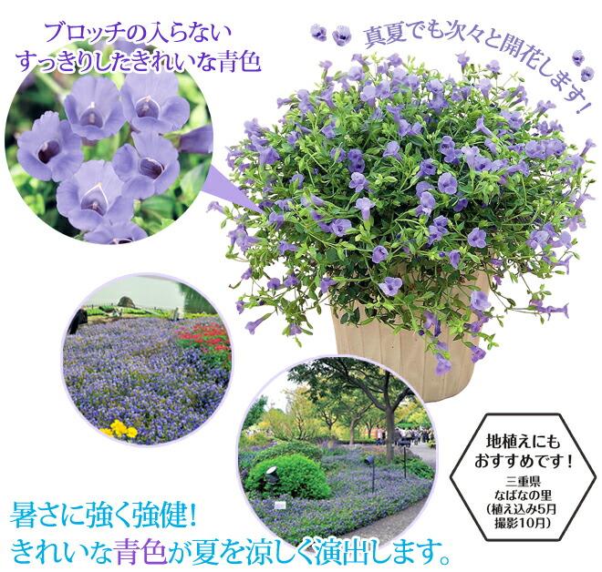 トレニア カタリーナ ブルーリバーは綺麗な青色 地植え・寄せ植え等にオススメ!