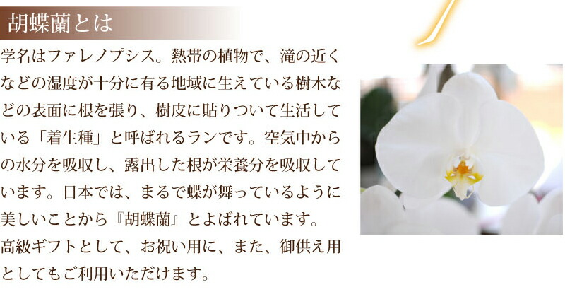 【胡蝶蘭とは】学名はファレノプシス。熱帯の植物で滝の近くなどの湿度が十分にある地域にはえている樹木などの表面に根を張り、樹皮にはりついて生活している「着生種」と呼ばれるランです。空気中からの水分を吸収し、露出した根が栄養分を吸収しています。日本ではまるで蝶が舞っているように美しいことから『胡蝶蘭』とよばれています。高級ギフトとして、お祝い用に、また、お供え用としてもご利用頂けます。