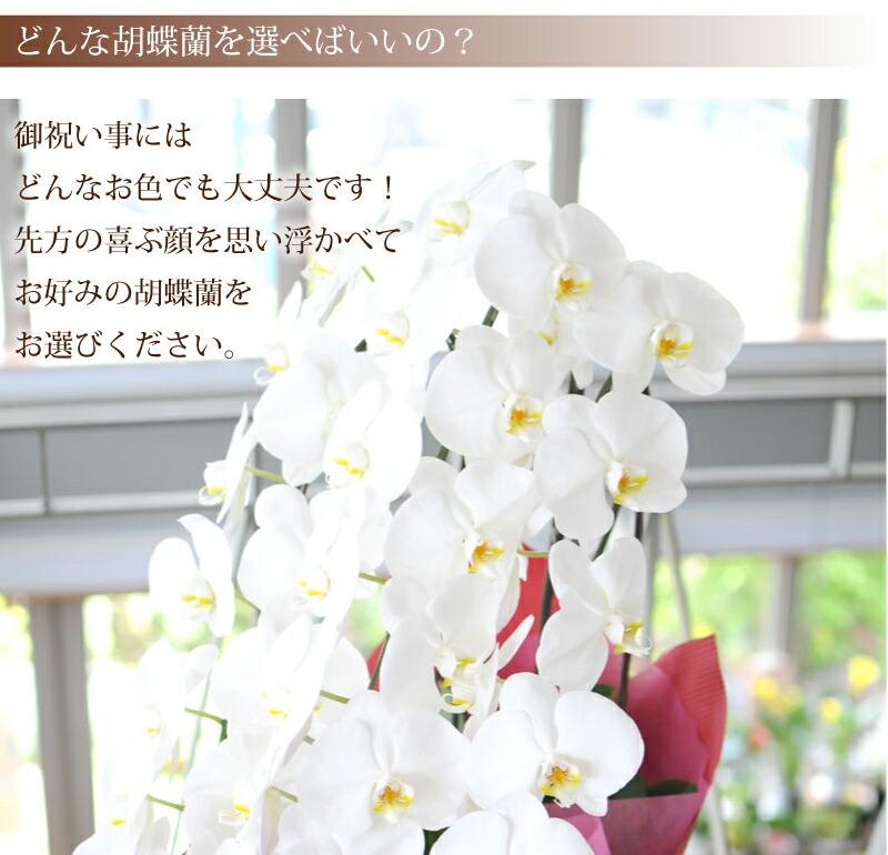 【どんな胡蝶蘭を選べばいいの?】お祝い事にはどんな御色でも大丈夫です!先方の喜ぶ顔を思い浮かべてお好みの胡蝶蘭をお選びください。