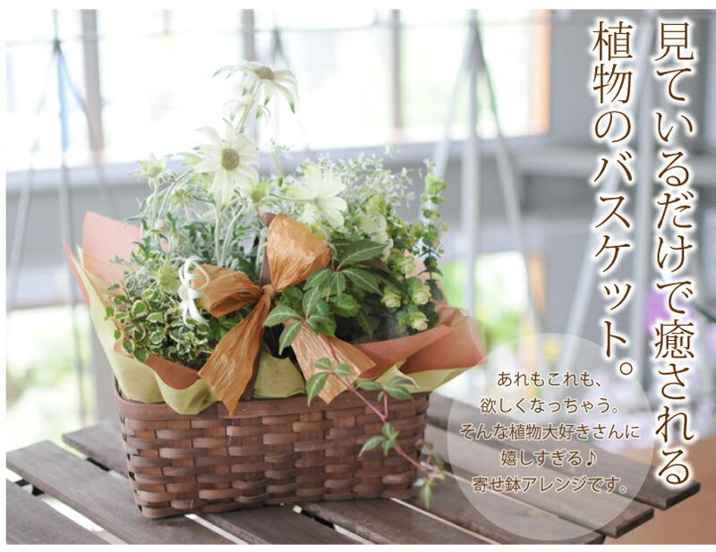 見ているだけで癒される植物のバスケット。あれもこれも、欲しくなっちゃう。そんな植物大好きさんに嬉しすぎる♪寄せ鉢アレンジです。