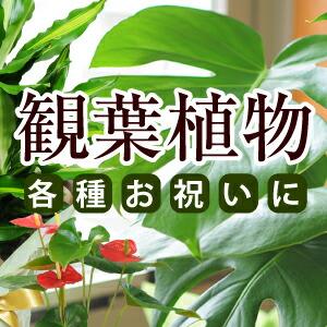 観葉植物 各種ご用途に最適<br>数多くの商品取り揃えております。