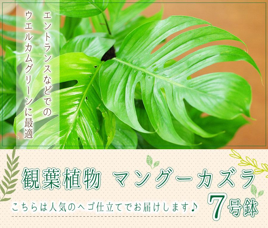 マングーカズラ 7号鉢 ヘゴ仕立て 観葉植物