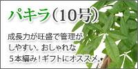 パキラ【10号】