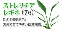 レギネ(7号)