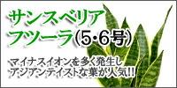 サンスベリア・フツーラ(5・6号)
