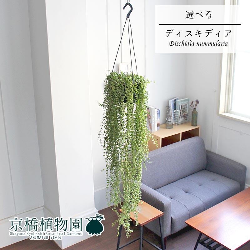【現品】ディスキディア・ヌンムラリア 7号 吊り下げ【選べる観葉植物】