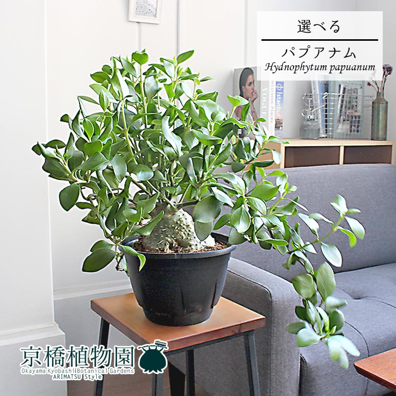 【現品】ヒドノフィツム・パプアナム 7号【選べる観葉植物】