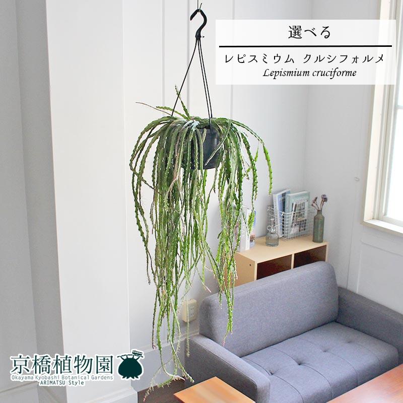 【現品】リプサリス レピスミウム・クルシフォルメ 7号 吊り下げ【選べる観葉植物】