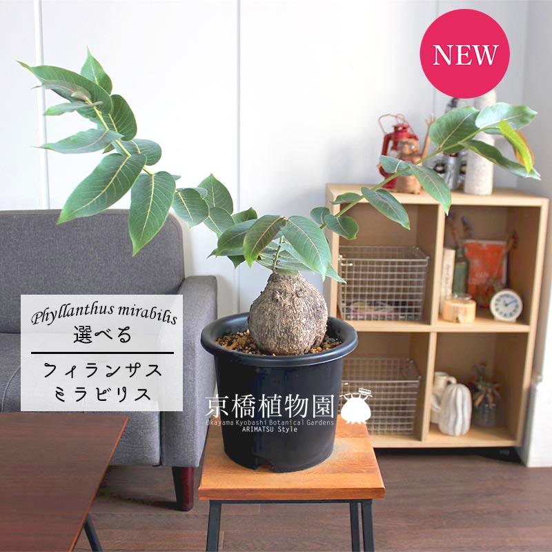 【現品】フィランサス・ミラビリス 7号【選べる観葉植物】