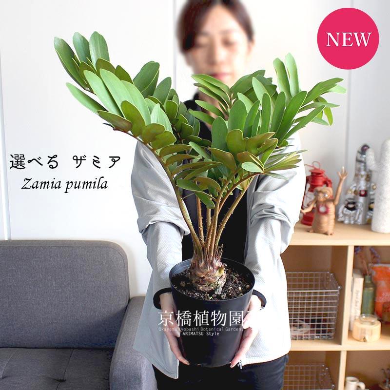 【現品】ザミア・プミラ 6号【選べる観葉植物】