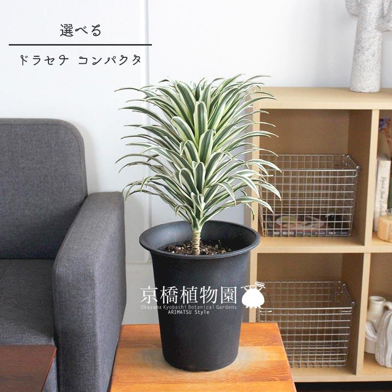 現品】ドラセナ・コンパクタ 斑入り 6号