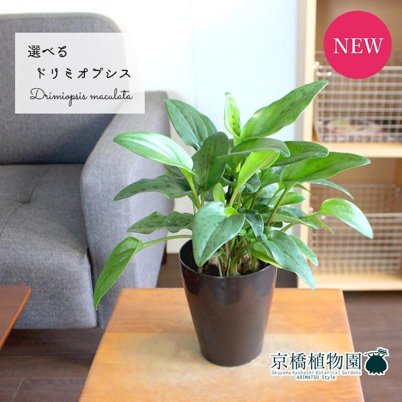 【現品】ドリミオプシス・マクラータ 3.5号(1〜8)【選べる観葉植物】