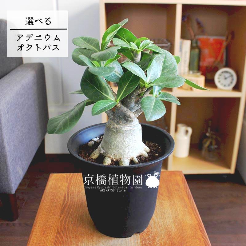 【現品】アデニウム・オクトパス 4.5号 黒鉢(1〜10)【選べる観葉植物】