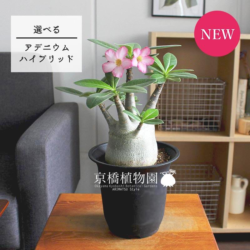 【再々入荷】【現品】アデニウム・ハイブリッド 4.5号 黒鉢(81〜90)