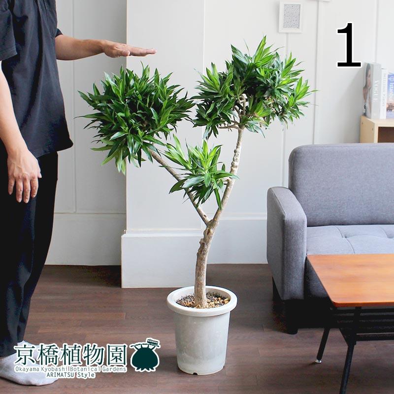 【現品】ドラセナ・ソング・オブ・ジャマイカ 7号 古木(1)