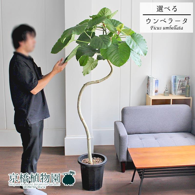 【現品】フィカス ウンベラータ 曲がり 10号【選べる観葉植物】