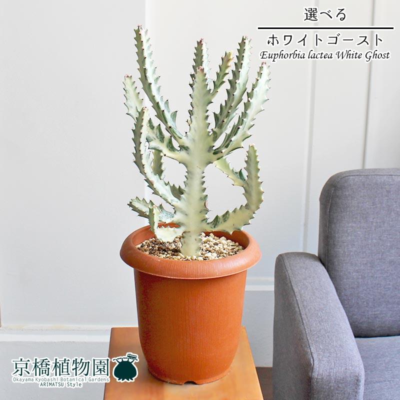 【現品】ユーフォルビア・ホワイトゴースト 7号 茶鉢【選べる観葉植物】