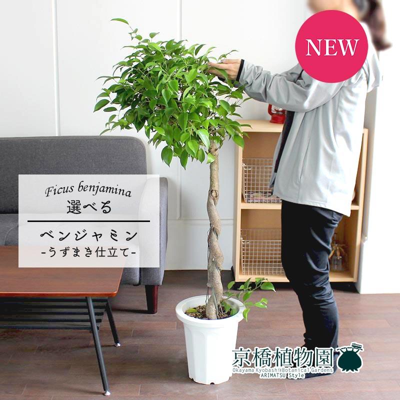 【現品】フィカス・ベンジャミン(ベンジャミナ) 8号 うずまき仕立て 【選べる観葉植物】