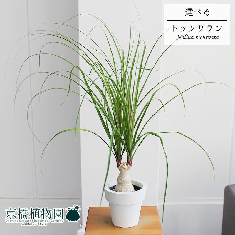 【現品】トックリラン/ノリナ/ポニーテール 5号【選べる観葉植物】