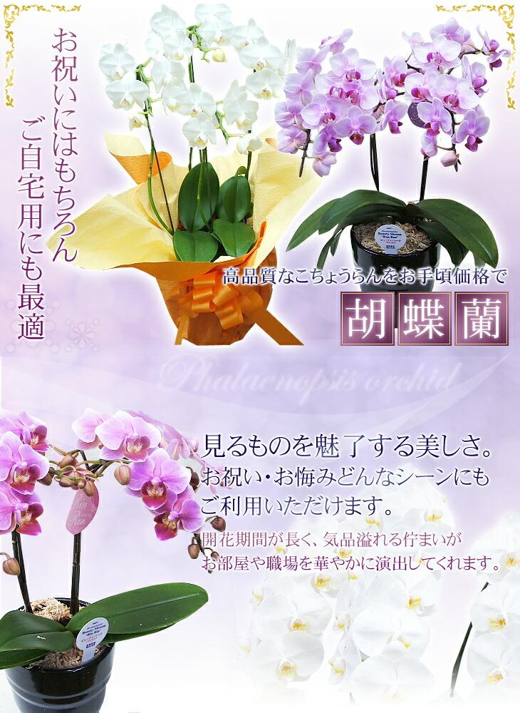 高品質なこちょうらんを安心価格で 胡蝶蘭