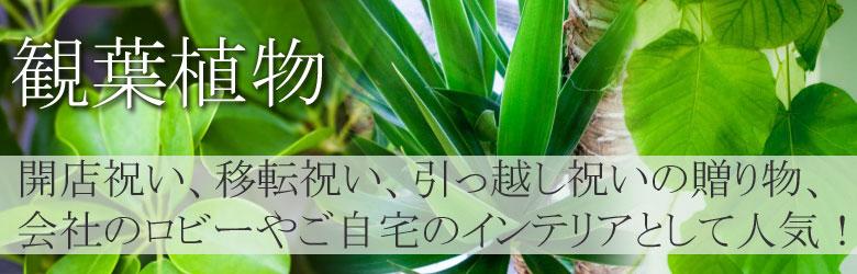 観葉植物。 全国お届け、送料無料! 開店、開業、引越祝いなどの贈り物として、大変喜ばれます。また、ご自宅のインテリアとしても人気です!