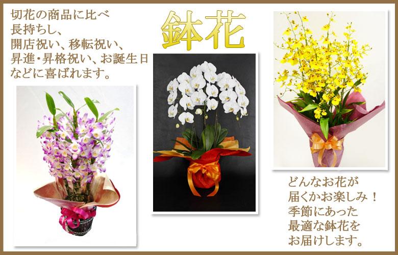 花持ちのよい鉢花ギフトは開店祝い、開業祝い、開院祝い、移転祝いなどに喜ばれます。季節に合わせた新鮮な鉢花を厳選された生花店から手渡しでお届けします。季節、入荷状況によりご用意できる鉢花の種類は異なりますため、ご指定は出来ません。どんな鉢花が届くかはお楽しみです。