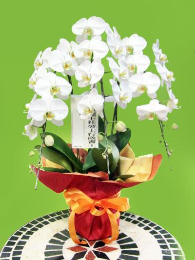 胡蝶蘭花鉢 開業祝い