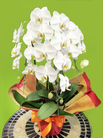 誕生日祝い 還暦祝い胡蝶蘭