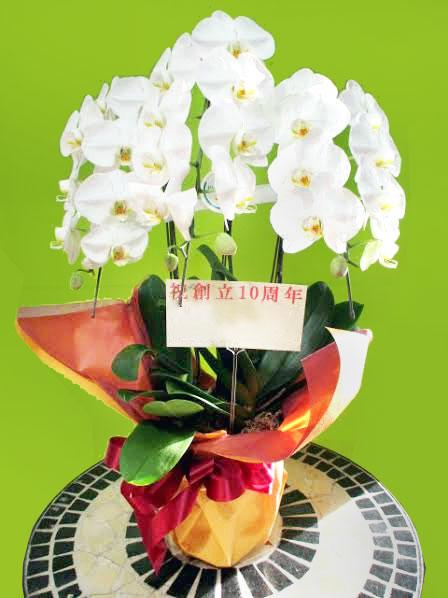 開院祝いの花贈答品 胡蝶蘭