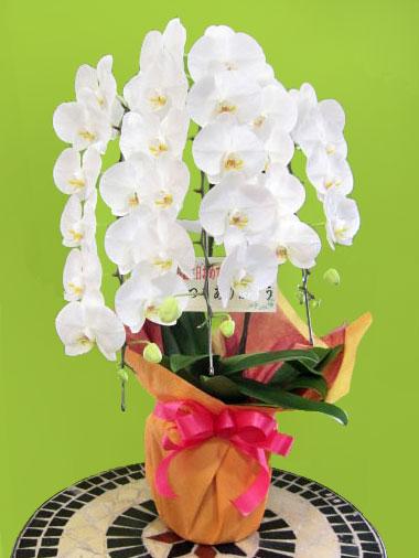 開店祝い花鉢