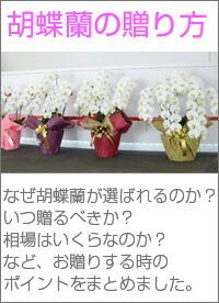胡蝶蘭の贈り方
