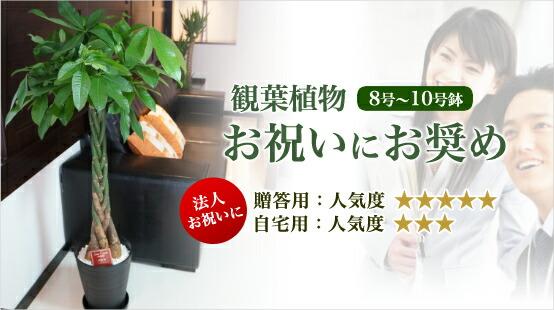 観葉植物 8号~10号 お祝いにお奨め
